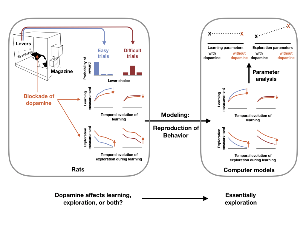 Schematics of the task. Left: Choices by the rat are rewarded with different probabilities in easy trials (7/8; 1/16; 1/16) and difficult trials (5/8; 3/16; 3/16). Learning measurement is the proportion of choices on the best lever during 24-trial blocks of learning where best lever and probabilities do not change. Exploration measurement is the proportion of choice shifts after a reward. Difficult trials as well as dopamine blockade decrease performance and increase exploration. Right: A simple Q-learning model with forgetting accurately reproduces the rat's behavior. Random exploration parameters of the model significantly increase when dopamine is blocked. Learning parameters are not affected.