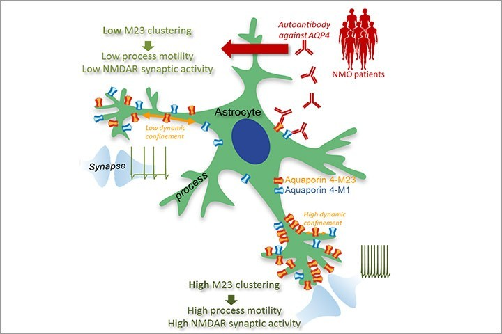 Laurent Groc, Thomas Tourdias et al in Cell Reports