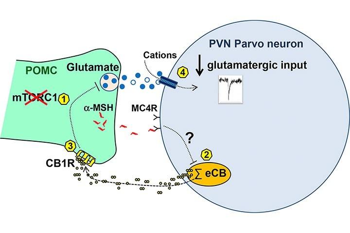 Wilfrid Mazier (Equipe Cota) & al. dans Molecular Metabolism