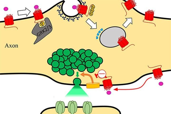 Eric Hosy et al. dans Neuron