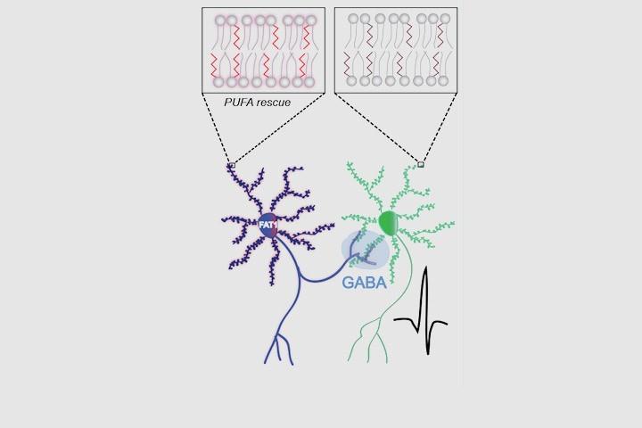 Fabien Ducrocq, Pierre Trifilieff et al dans Cell Metabolism
