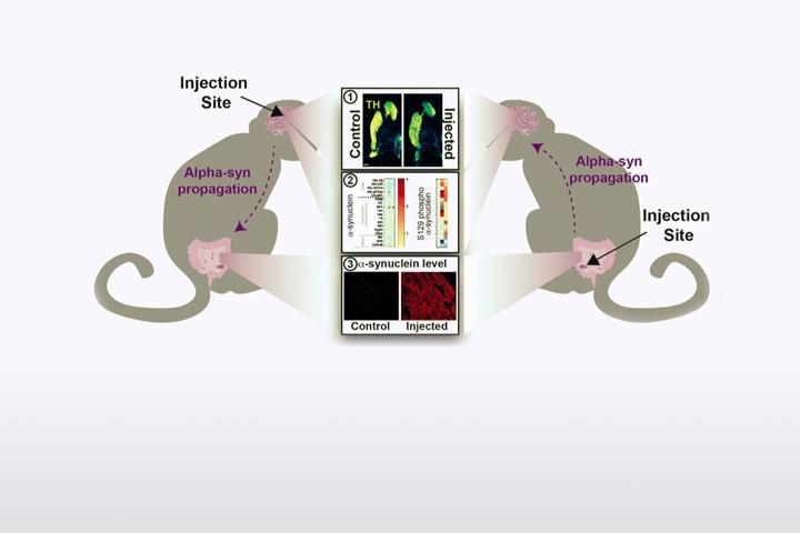 ML Arotcarena et al dans Brain