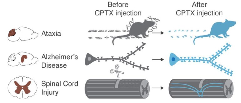 Summary of CPTX impact upon injection in animal models of Ataxia, Alzheimer's Disease and spinal cord injury.