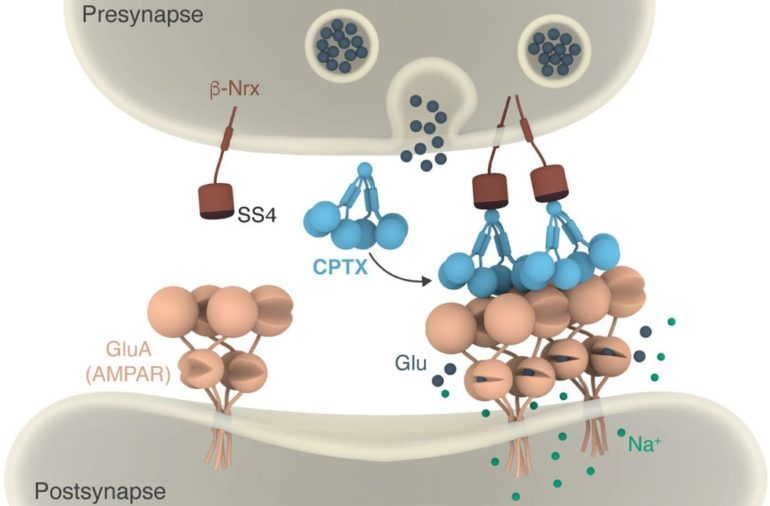Cartoon illustrating how CPTX works by forming a molecular bridge between pre- and post-synaptic neurons.