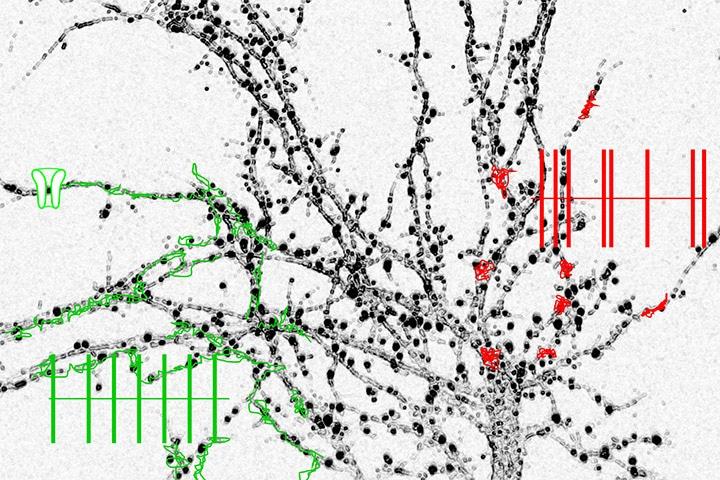 Laetitia Etchepare, Laurent Groc et al in the Journal of Physiology