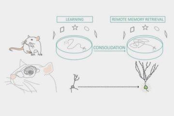 Neurones générés à l'âge adulte dans l'hippocampe et mémoire